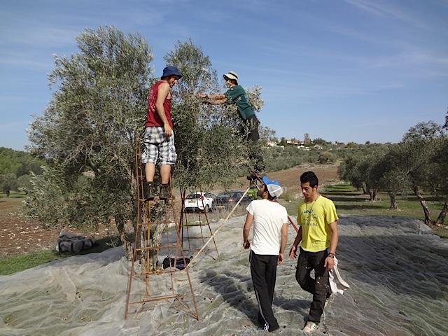 Harduf seniors volunteer as olive pickers